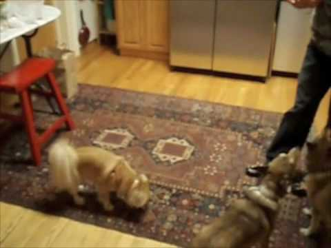 Stupid Dog Tricks with Pom-Chi and Norwegian Lundehunds