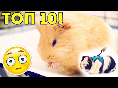 ТОП 10 Самых Опасных Вещей для Морской Свинки / Свинки Шоу / SvinkiShow