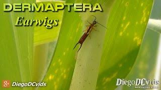 Elaunon bipartitus - Earwig (Dermaptera - Forficulinae) Lacrainha