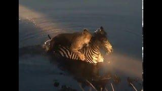 Lion vs Zebra - Death Struggle as the Lioness drowns the Zebra