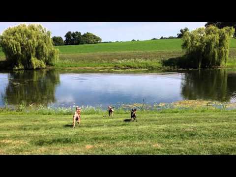 Catahoulas swimming