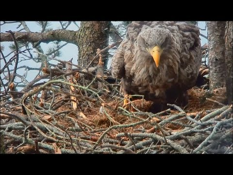 Smola Norway Eagle Cam ~ Baron Brings Nesting Material; Tests Out Nest Bowl; Closeups 3.9.18