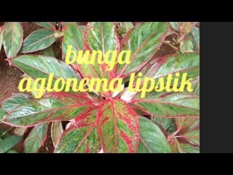 cara-menanam-bunga-aglonema-lipstik-dalam-pot