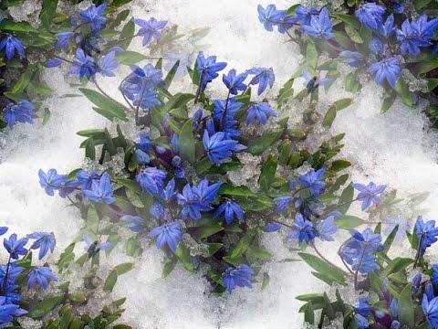 Весна. Подснежники - первые весенние цветы. Оригинальная музыкальная открытка
