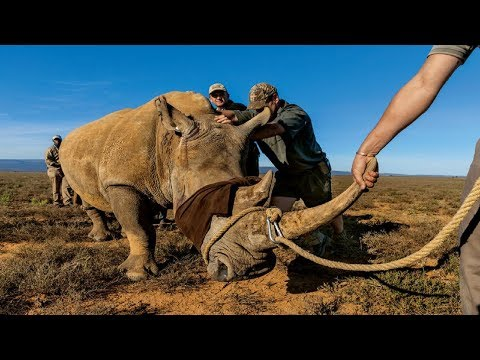 National Geographic Documentary - Rhinoceros: endangered species - wildlife Animal