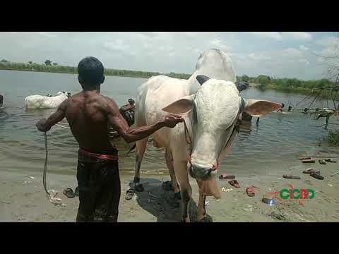 সিব্বি গরুর গোসল আফতাব ন গ র হাট ২০১৮