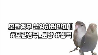 [모란앵무/앵무새 분양…