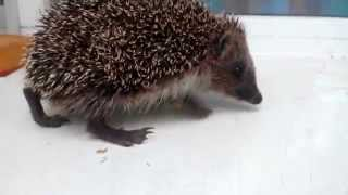 Ёж / Hedgehog