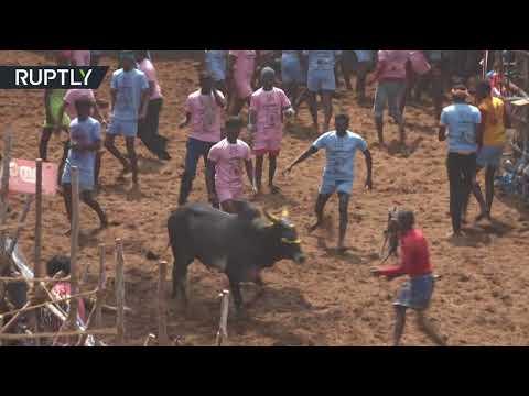 Jallikatu: Bull taming festival in Tamil Nadu, India