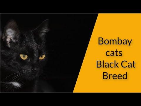 Bombay cats  Black Cat Breed