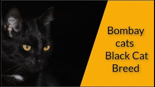 Bombay cats  Black Cat Breed