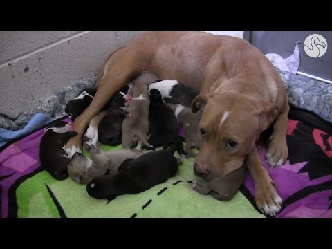 Abandoned Pit Bull Mom Protects Her Puppies Until They're All Rescued