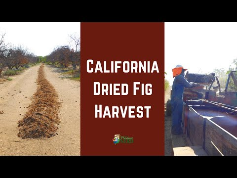How Figs Are Dried & Harvested In The Field