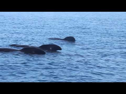 Long-finned pilot whales resting and talking a little