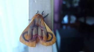 Estirando las alas. Adetomeris erythops (saturniidae