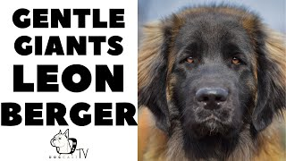 How to live with LEONBERGER DOGS  The German LionDogs!  DogCastTV!