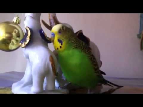 Армянский попугай Кеша!!!