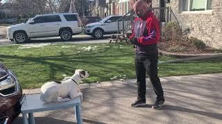 American Bulldog, 'Cuddles', training at 6 months of age