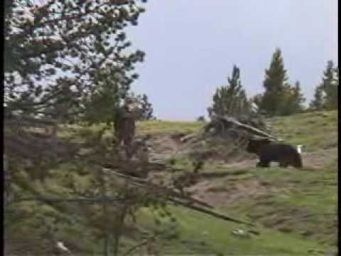 Yellowstone Grizzly Approaches Tourist