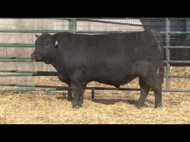 Schiefelbein Angus Farms Lot 134