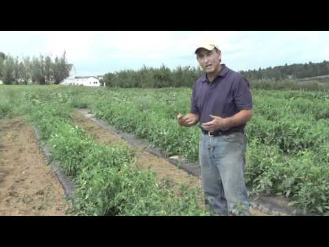 How to Grow Tomatoes: Differences Between Bush and Vining