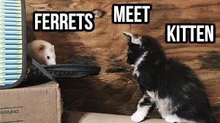 Ferrets Meet A Kitten For The 1st Time!