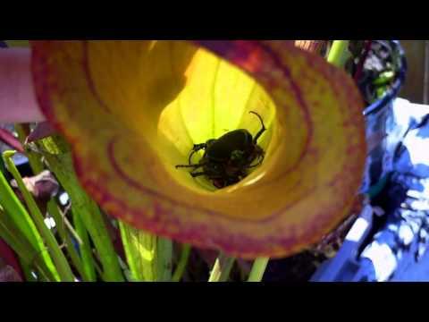Equilibrio Carnivorous Plants Carnivorous Plant Eats Beetles