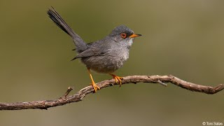 Curs d'identificació d'aus. 8 - De les buscarles als papamosques