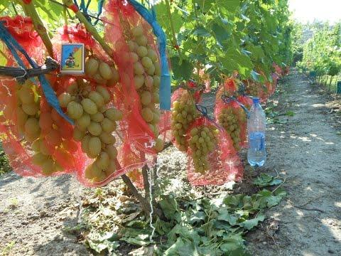Полив винограда и деревьев с помощю гидробура