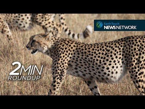 Cheetahs return to Malawi, new 'big tuskers' & a megamouth shark