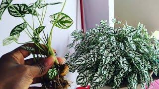 Aprenda o Segredo Para Manter o Caladium Sempre Bonito e Cheio de Folhas