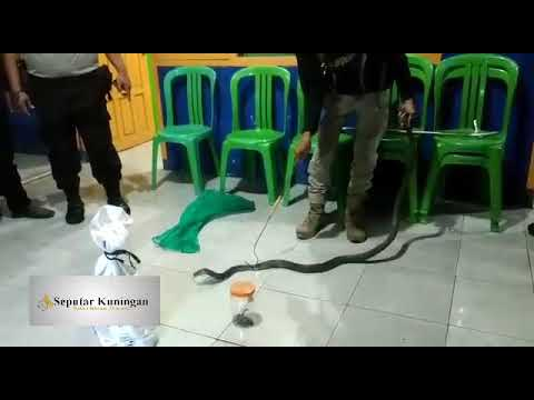 Tim Damkar Kuningan Dan Polres Kuningan Menyerahkan 3 Ekor Ular Kepada Komunitas Reptil