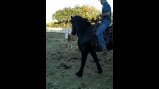 Essai de tri de bétail avec une Jument Frisonne