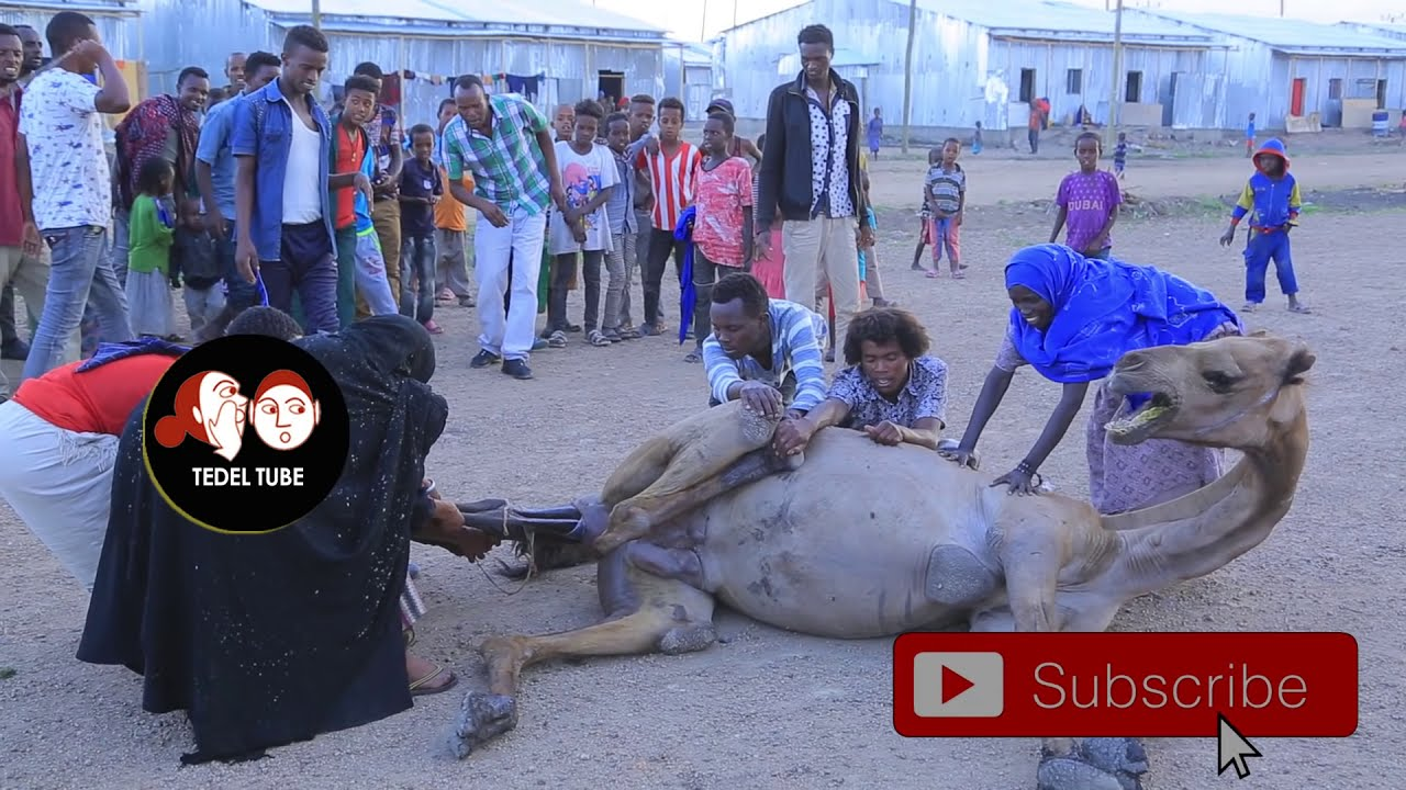 ETHIOPIAN: CAMEL GIVING BIRTH  National Geographic