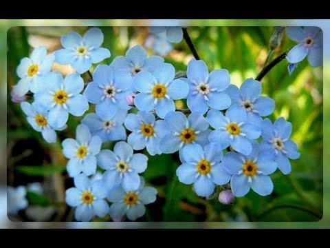 Незабудка - удивительные цветы