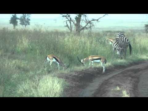 Thomsons Gazelles