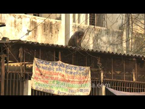 A lone macaque eyeing goodies on a house roof? Okhla market place, Delhi