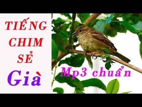 Tiếng chim Sẻ già File MP3 Chuẩn để bẫy chim ngon lành