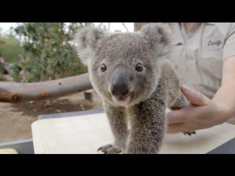 How To Weigh a Koala Joey