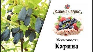 Жимолость Карина. Купить саженцы жимолости в Украине - Киома Сервис