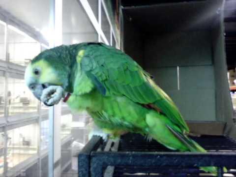 Blue-fronted amazon parrot — Синьолобий амазон