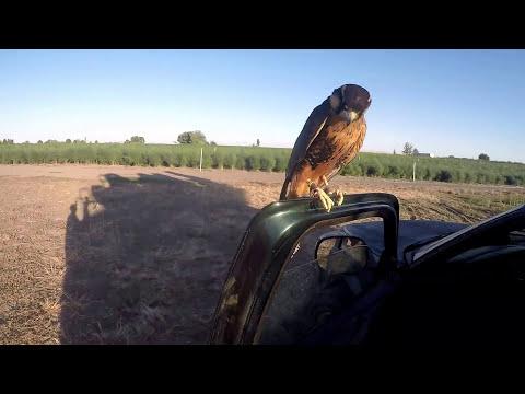 Falconry Bird Abatement