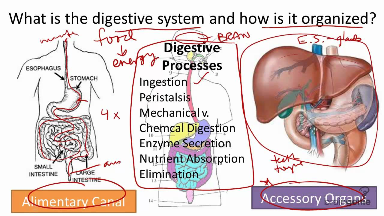 8.5 Digestive System Structure and Function - YouTube