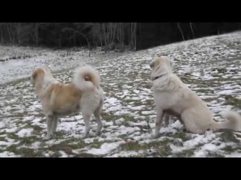 Livestock guard dogs; Play turns into fight over puppy pecking order.- Old Man Farm
