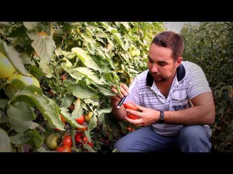 Выращивание томатов в Запорожской области
