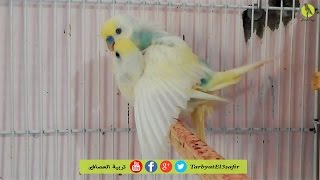 تزاوج طيور الحب البادجي أو البوريش وحركات رومنسية بين الطائرين
