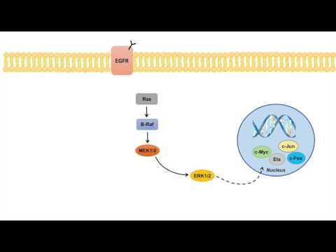 Ras Raf MEK ERK Signaling Pathway - Overview, Regulation and Role in Pathology