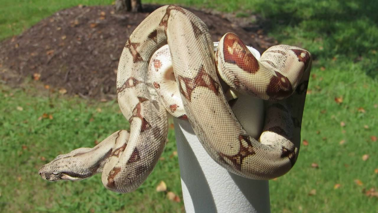 how to get a boa constrictor to release