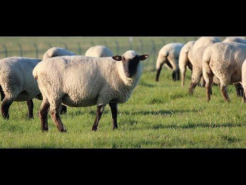 Sheep only follow their Shepherd [Switzerland / Suisse / Svizzera / Suíça / Schweiz]
