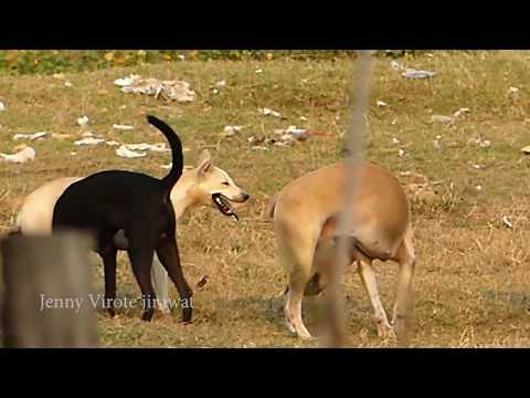 Great RuralDogs!!!!! Miniature Pinscher Vs Anatolian Shepherd On Field Near Palm House
